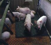ボビレックスデュラブル【子豚用マット】