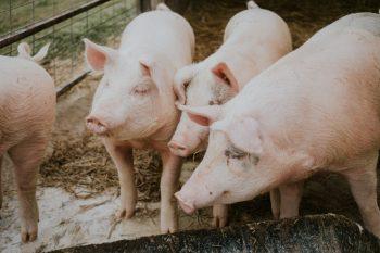 ワイピーテック養豚セミナー2019 開催のご案内